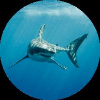 Shark alert systems